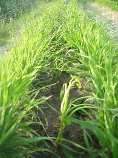 緑肥の中に植えてみた