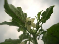 恐れ多くもハバネロの花