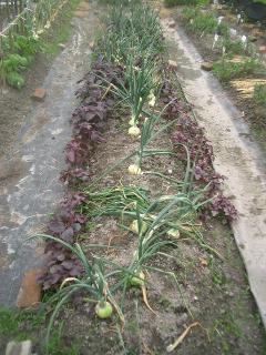 大きな玉ねぎから収穫