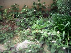 ドクダミ花壇