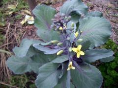 しみじみ咲く紫キャベツの花