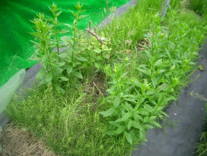 雑草に埋もれたブルーベリー