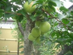 庭の梅の木に実がなった