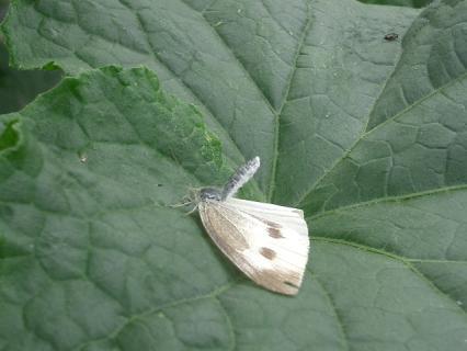 交尾を待つ蝶…