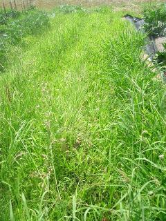 緑肥も雑草に埋もれてしまった