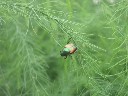 小さいコガネムシ