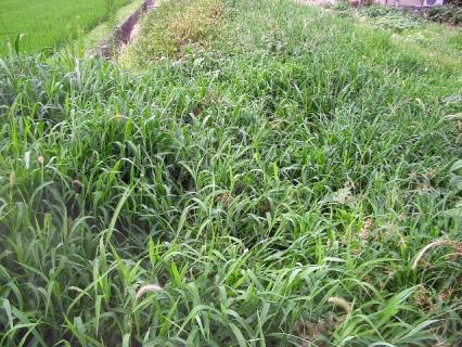 芋畑がいつの間にか草原に