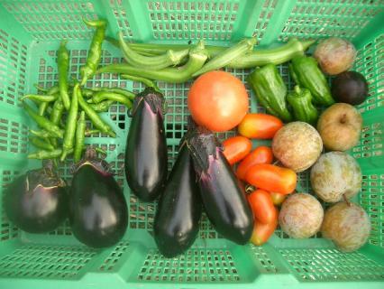 今日の収穫~!スモモをとったど~!