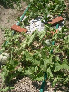 露地栽培のメロン
