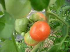 キウイの棚の下に植えた残り物のトマト