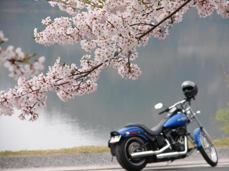 桜とナイトレ