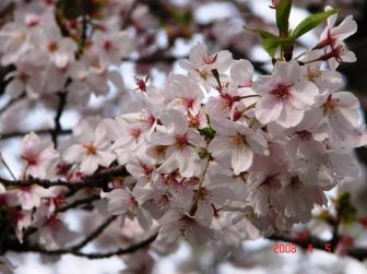 大川の桜1