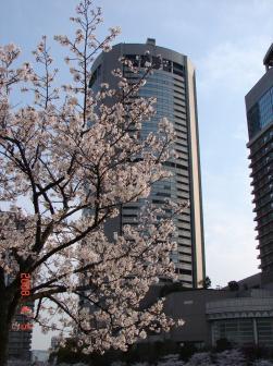 大川の桜2