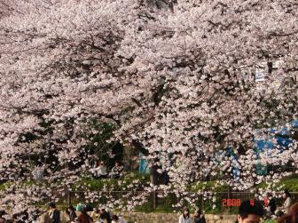 大川の桜5