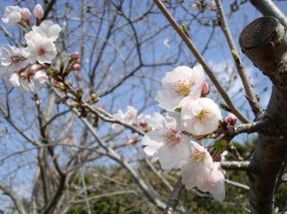 いよいよ桜の満開間近です 2008.3.31