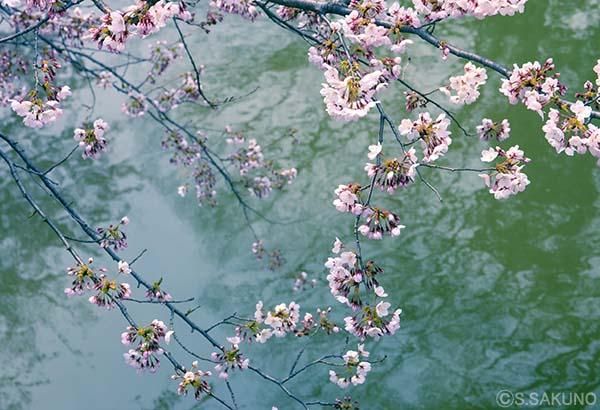 川辺の桜024W4764