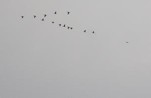 琵琶湖湖上の鳥の群れ