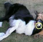 盗難犬:武蔵くん9