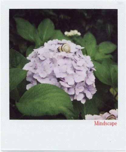 三室戸寺の紫陽花2