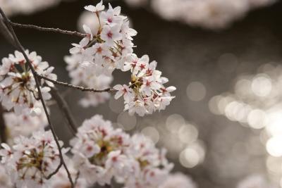 古都の桜はどんなもんでしょうか