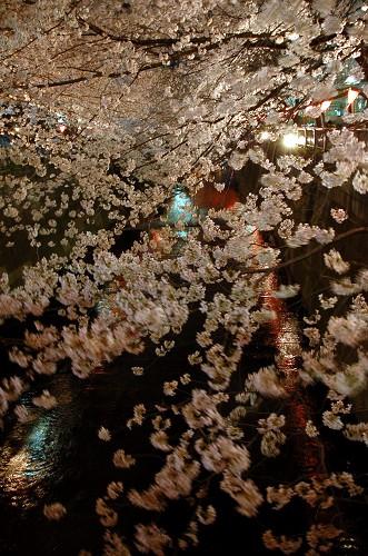 DSC_0484夜桜