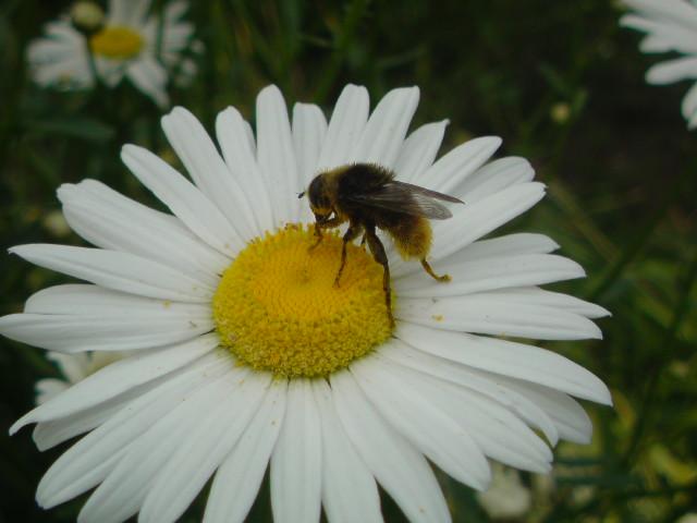 ミツバチとお花