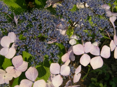 紫陽花 1
