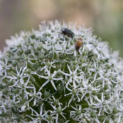 ミツバチ-2