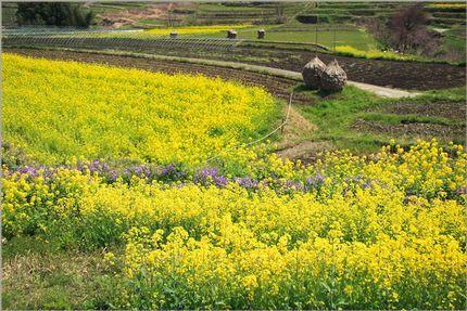 菜の花畑サブ