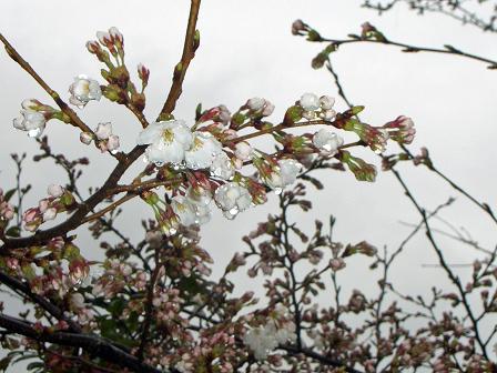 公園の桜・・・開花で~す