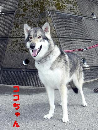 オオカミ犬 ココちゃん
