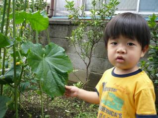 きゅうりの葉っぱ