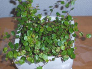 Ange Plants