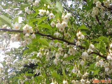 良い香りの白い花 A