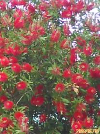 ご近所の気になる赤い花をつけた木