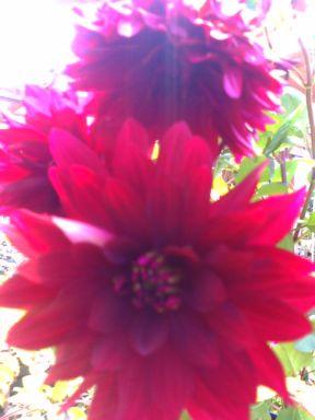 風にゆれてかわいいダリアのような花