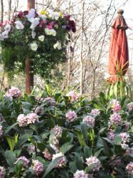 強い芳香 沈丁花