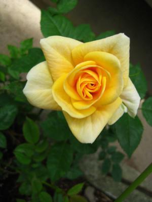 大好きなバラ