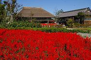 都市農業公園の赤いサルビアがきれいです