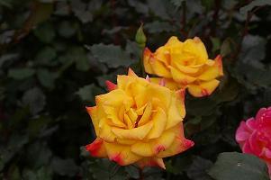 バラ公園のバラ