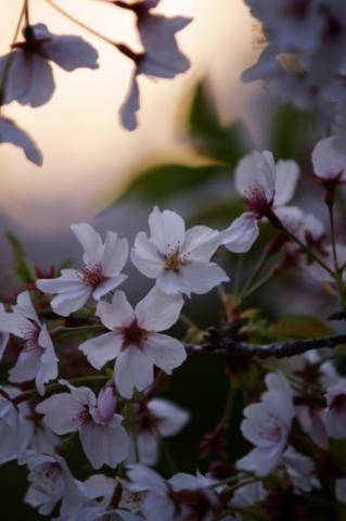 2008 04.12 平和公園の桜 015
