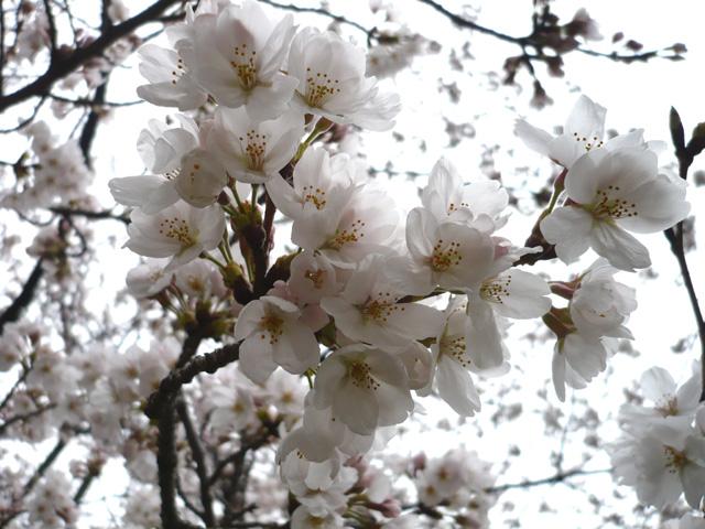 桜 (食べ物ではございません)