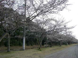 sakura 045