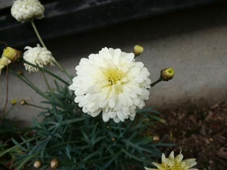 黄マーガレット