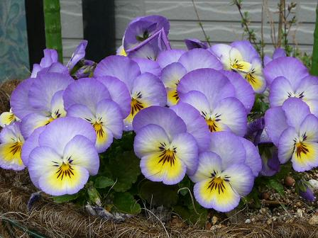 紫黄ビオラ