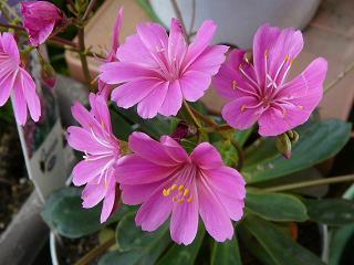 レウィシア赤紫