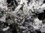 CHANGさん自慢の夜桜