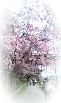 紅しだれ桜のトンネル