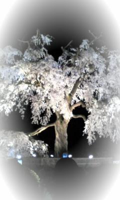 円山の夜桜
