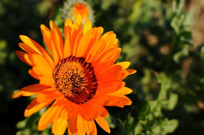 オレンジの花・D300+Ais28mm